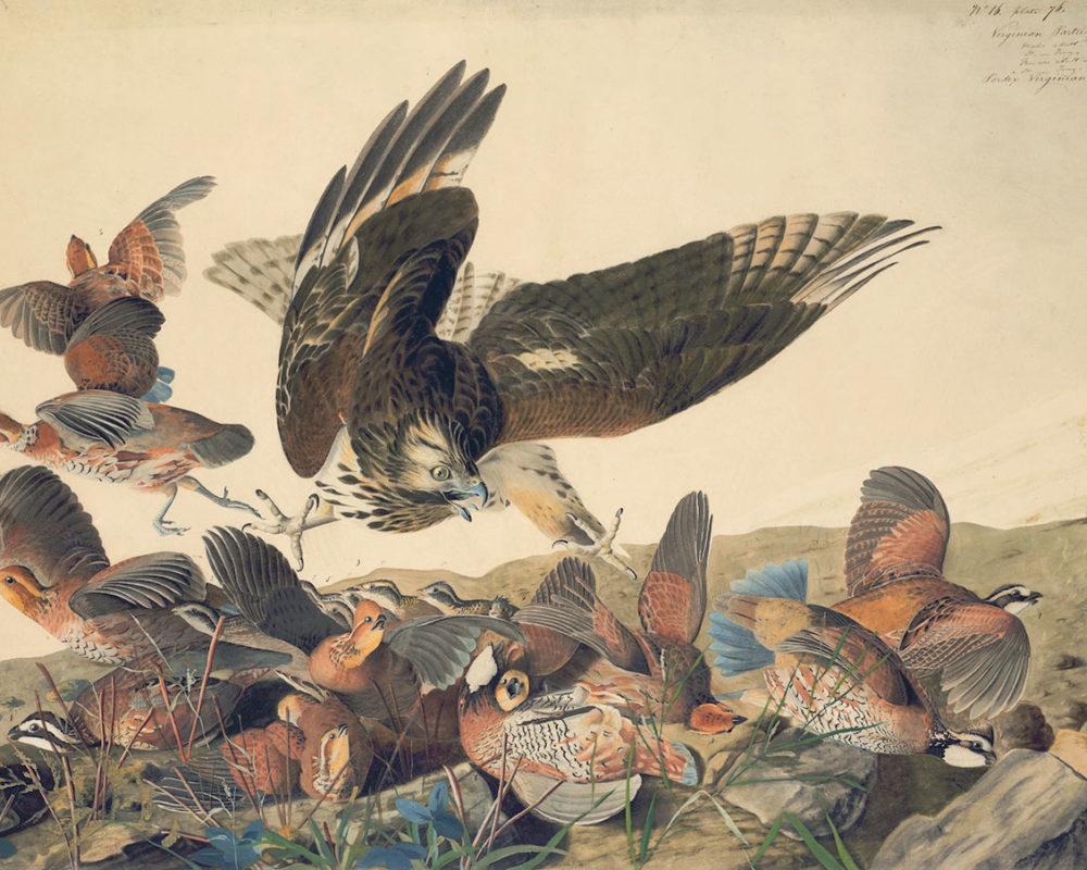 John James Audobon, Northern Bobwhite and Red shouldered Hawk, 1863