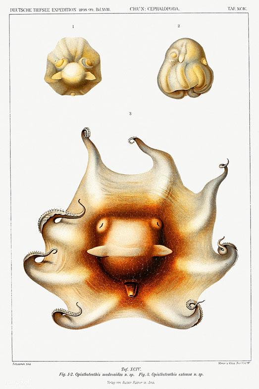 Carl Chun, Die Cephalopode