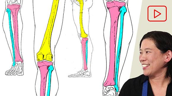 Anatomy for Artists: Leg Bones