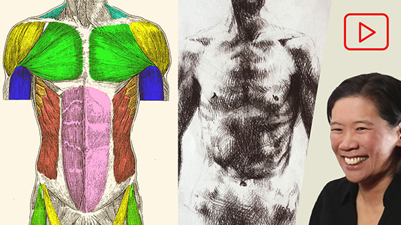Anatomy for Artists: Front Torso Muscles